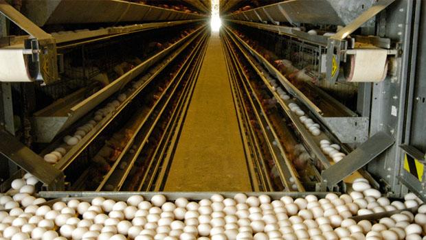 Yumurta Tavukçuluğu